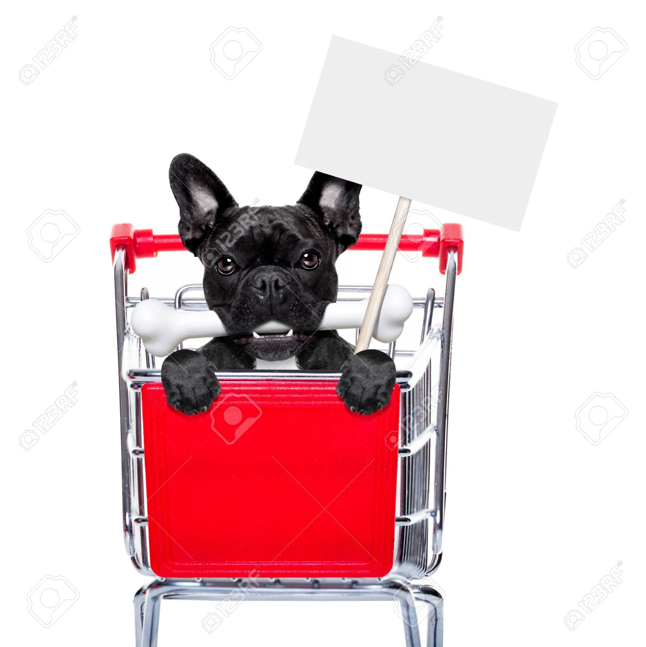 french bulldog dog inside a shopping cart trolley , behind  a blank  empty banner holding a placard, with a bone in mouth , isolated on white background Stock Photo - 44964440