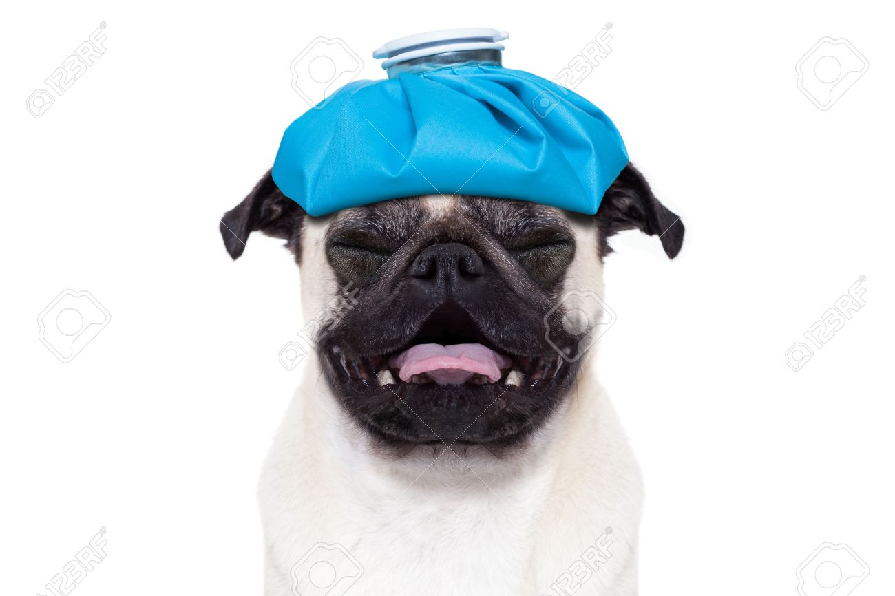 pug  dog  with  headache and hangover with ice bag or ice pack on head,  suffering and crying ,  isolated on white background, Stock Photo - 45714926