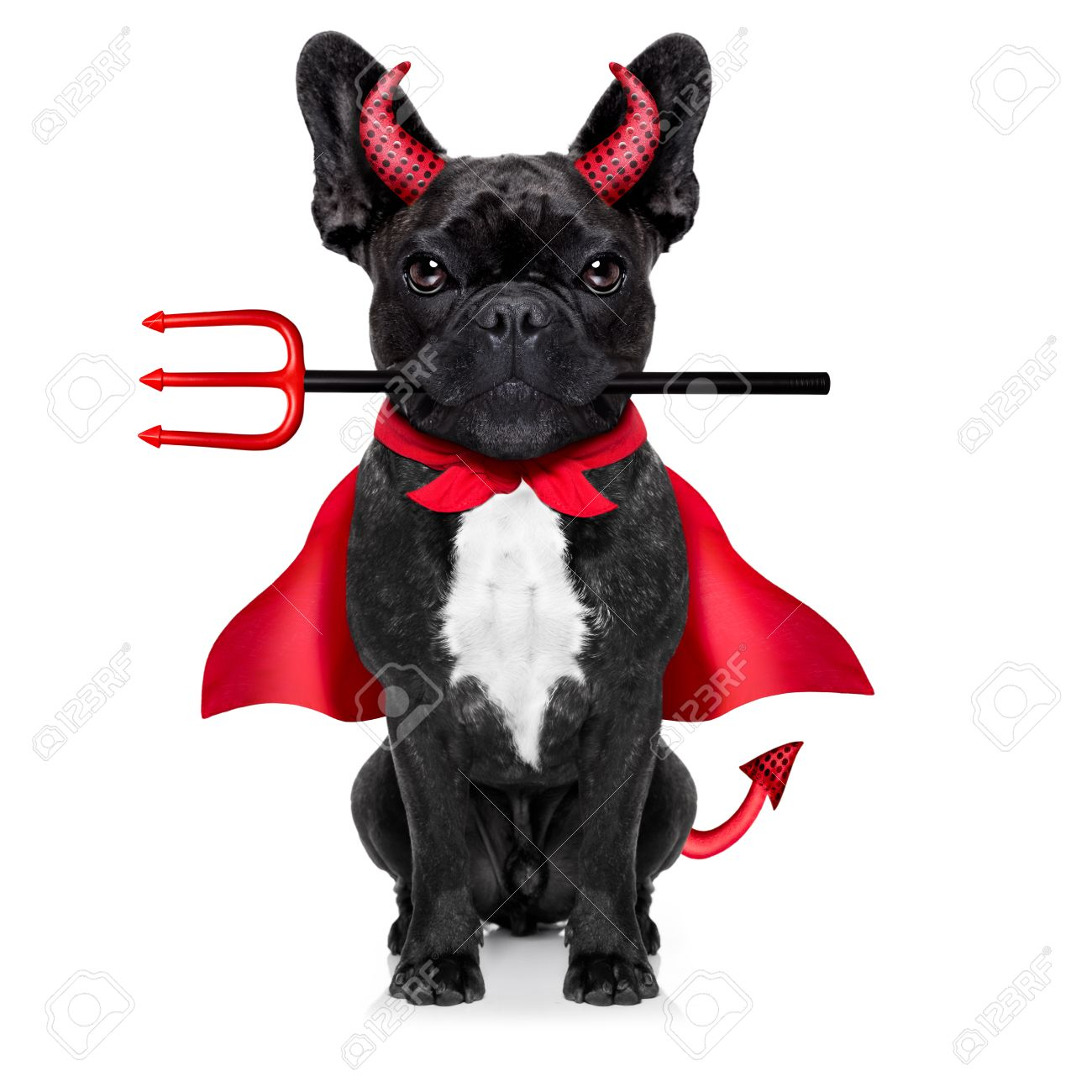 halloween  witch french bulldog  dog  dressed as a bad devil with red cape , isolated on white background Stock Photo - 45715020