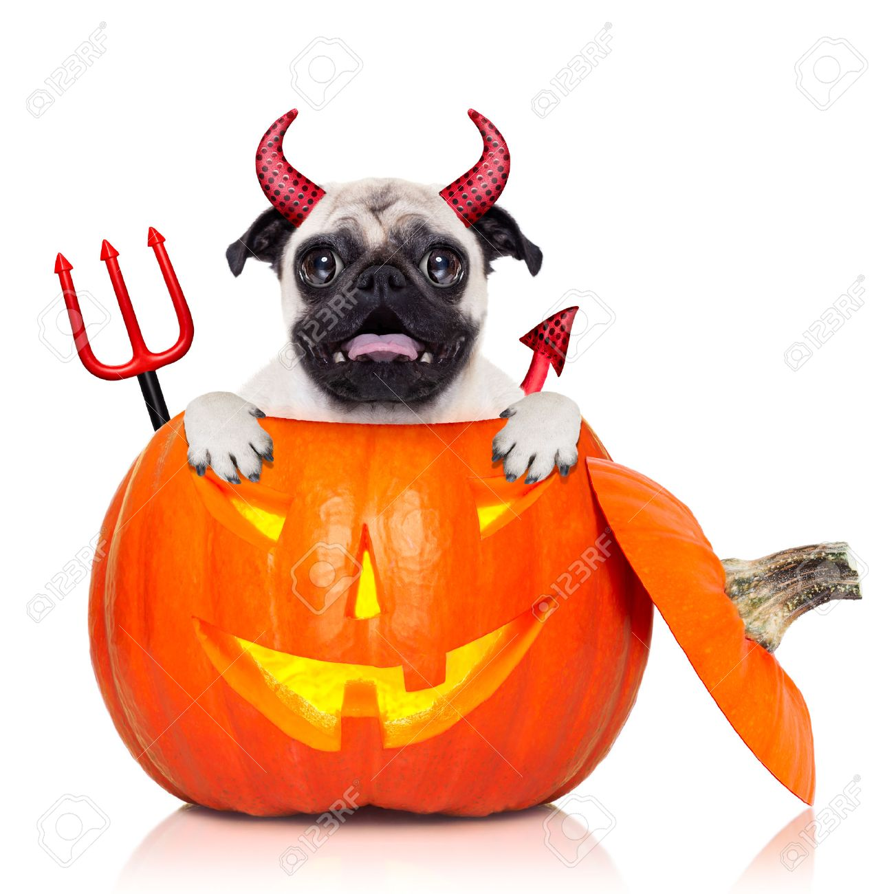 halloween devil pug dog inside pumpkin scared and frightened isolated on white background Stock  sc 1 st  123RF.com & Halloween Devil Pug Dog Inside Pumpkin Scared And Frightened ...