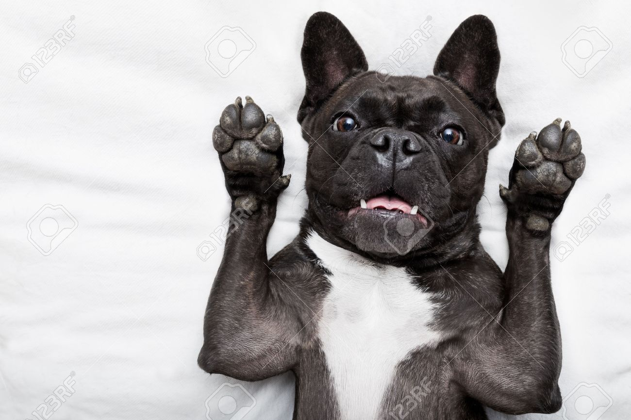 french bulldog dog  surprised , shocked and frightened, staring at you with arms in the air Stock Photo - 46576803