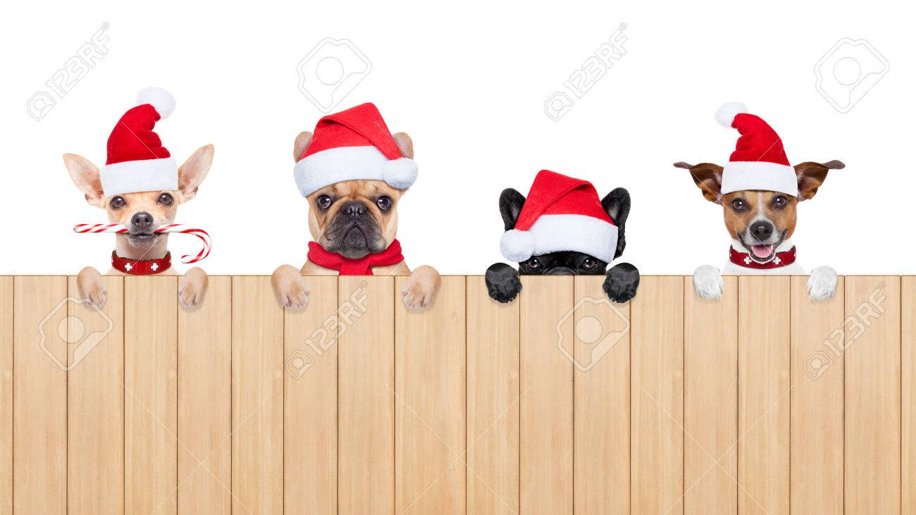row and group of santa claus dogs, for christmas holidays, behind a wall, banner or placard, wearing a red hat  , isolated on white background Stock Photo - 46576869