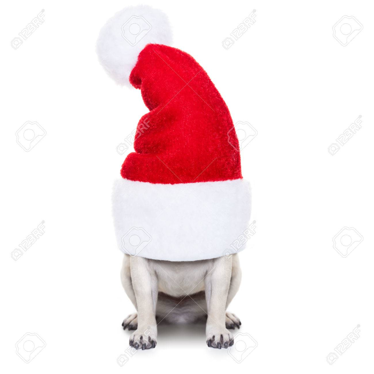 pug dog as santa claus  hiding inside the hat , for christmas holidays, isolated on white background Stock Photo - 46576976