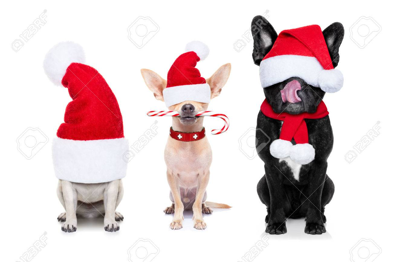 row and group of santa claus dogs, for christmas holidays, eyes covered by the hat , isolated on white background Stock Photo - 46576987