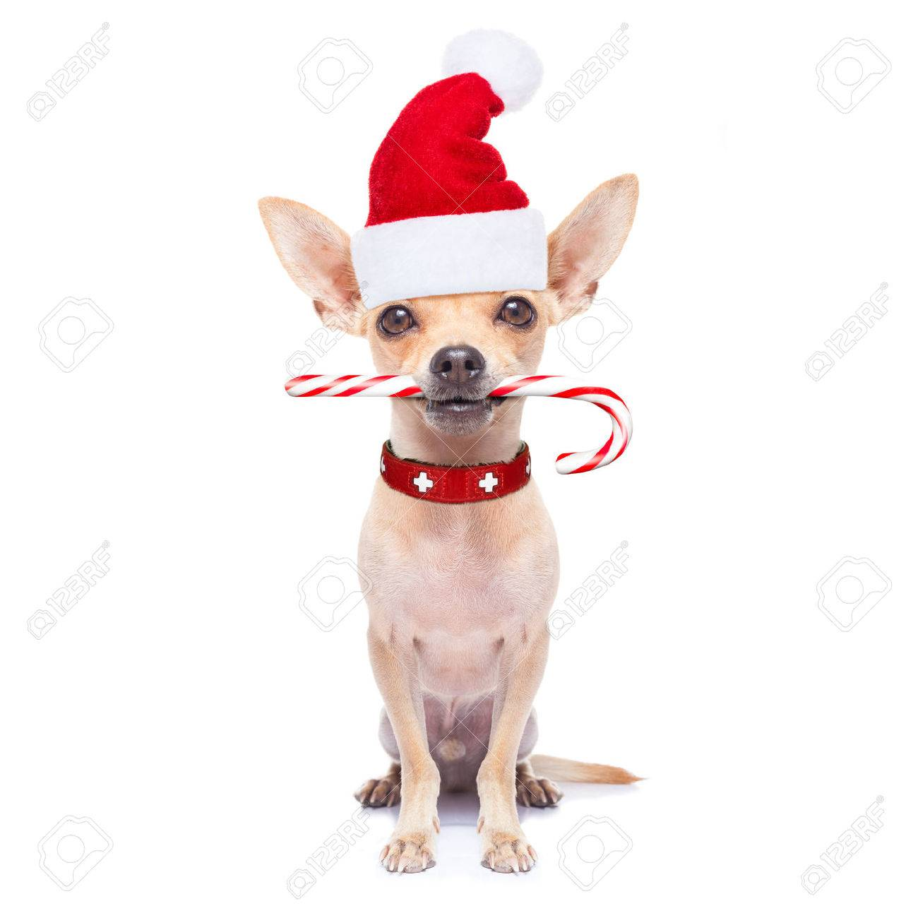 chihuahua santa claus dog with sugar candy cane in mouth, for christmas , isolated on white background Stock Photo - 46576989