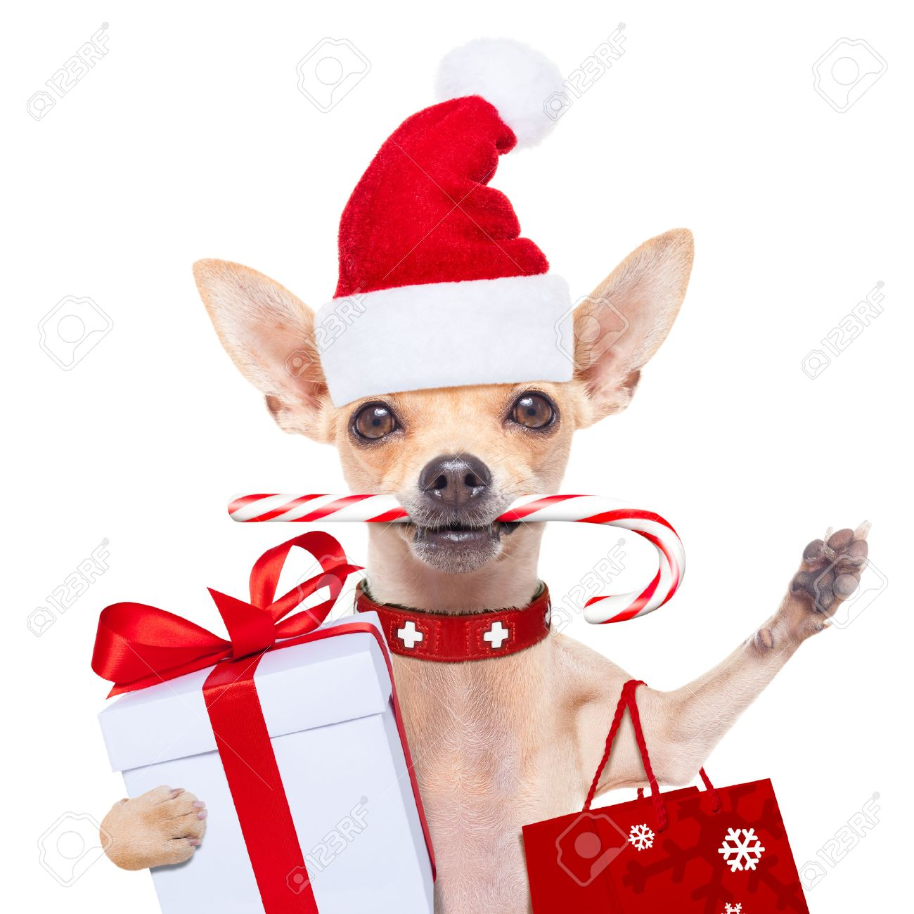 chihuahua santa claus shopping bag  dog  ready for christmas sale  , isolated on white background Stock Photo - 46809753