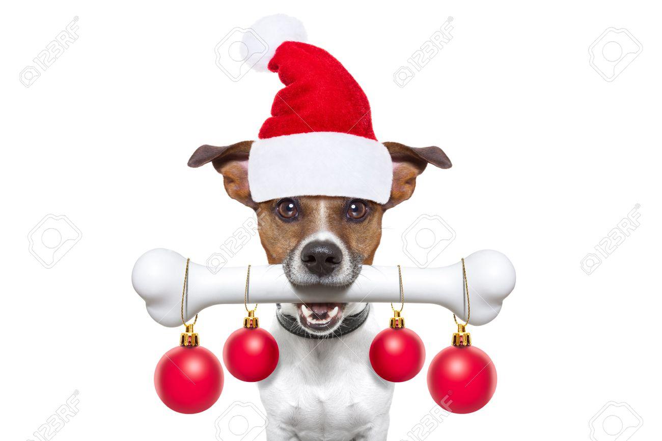 christmas santa claus dog holding a big bone with mouth decoration xmas balls hanging, isolated on white background Stock Photo - 48416885