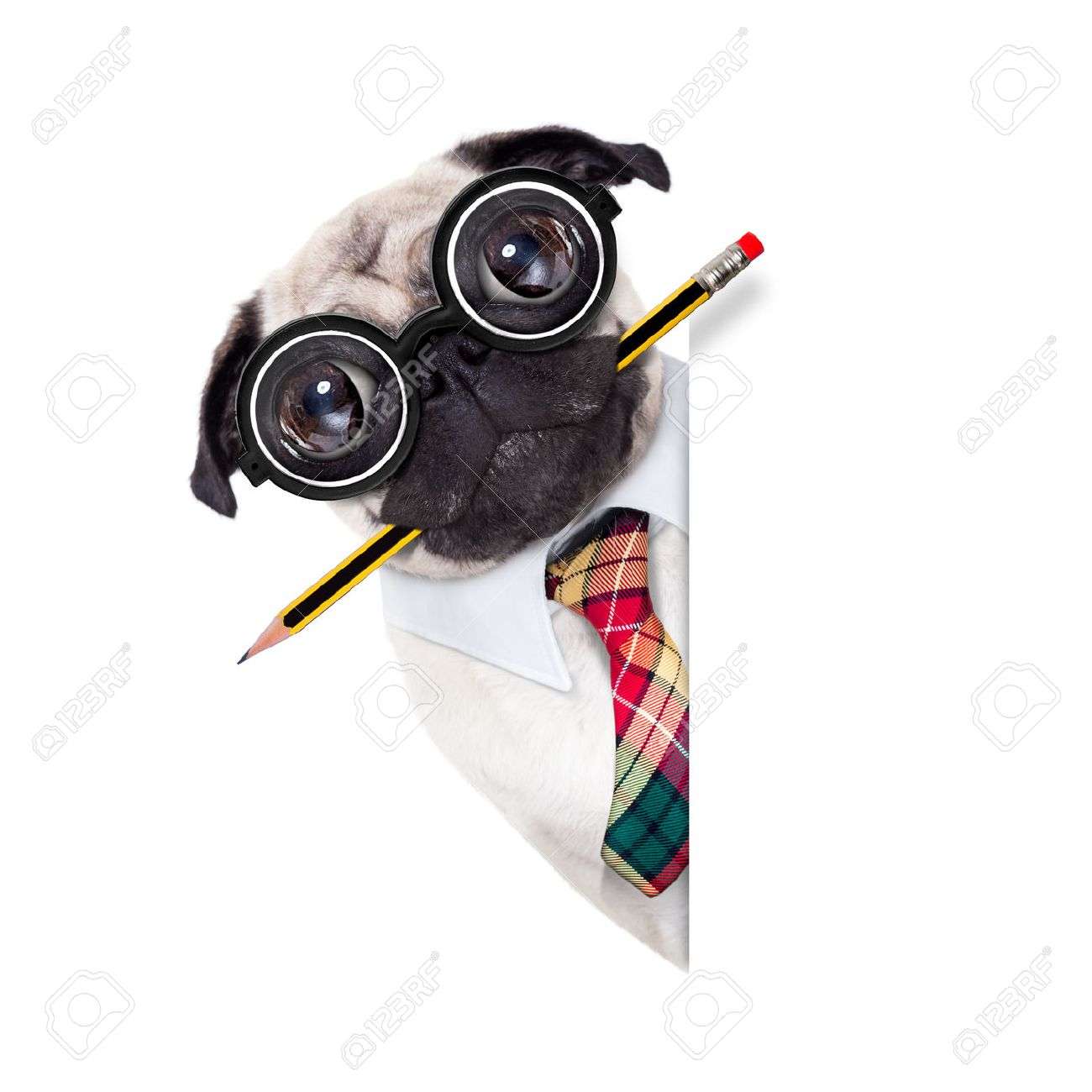 dumb crazy pug dog with nerd glasses as an office business worker with pencil in mouth ,behind empty blank banner or placard,  isolated on white background Stock Photo - 49248122