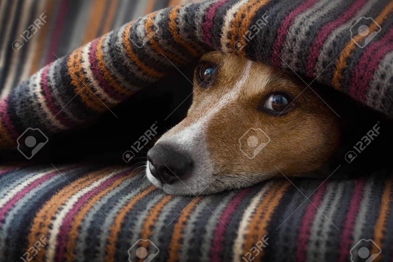 Jack Russell Hond Slaapt Onder De Deken In Het Bed Van De ...