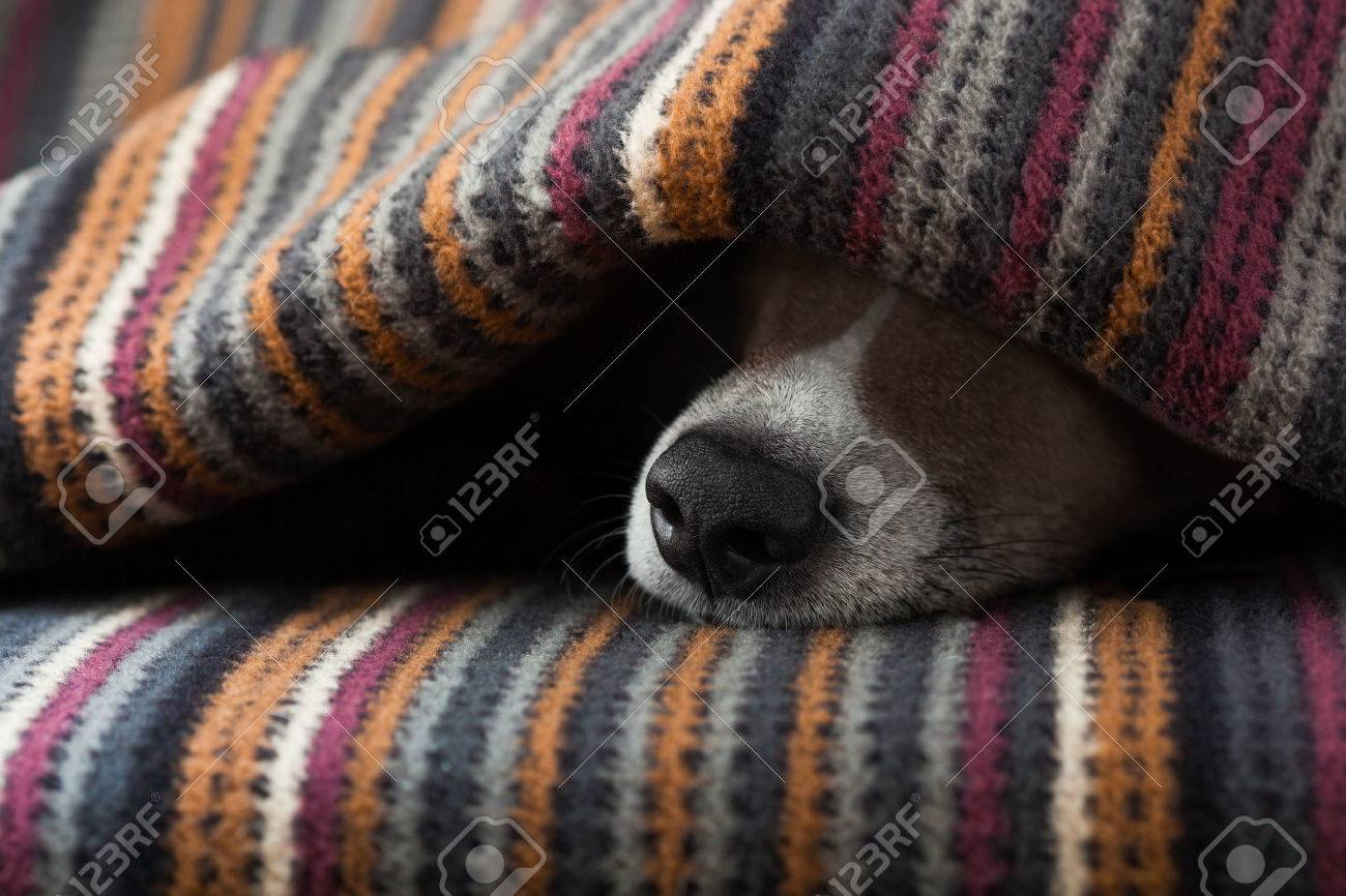 jack russell dog  sleeping under the blanket in bed the  bedroom,   ill ,sick or tired, sheet covering its face Stock Photo - 49563195