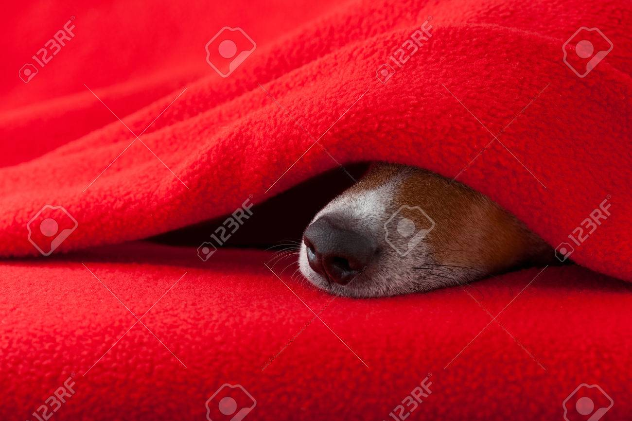 jack russell dog  sleeping under the blanket in bed the  bedroom, ill ,sick or tired,  red sheet covering its face Stock Photo - 49563197