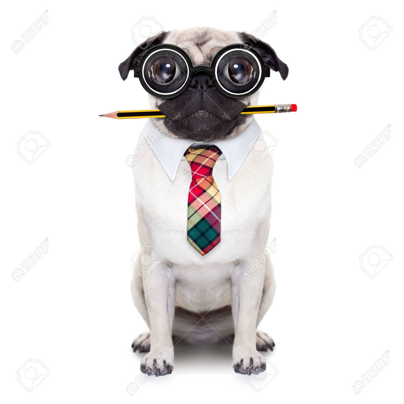dumb crazy pug dog with nerd glasses as an office business worker with pencil in mouth ,full body ,  isolated on white background Stock Photo - 49563303
