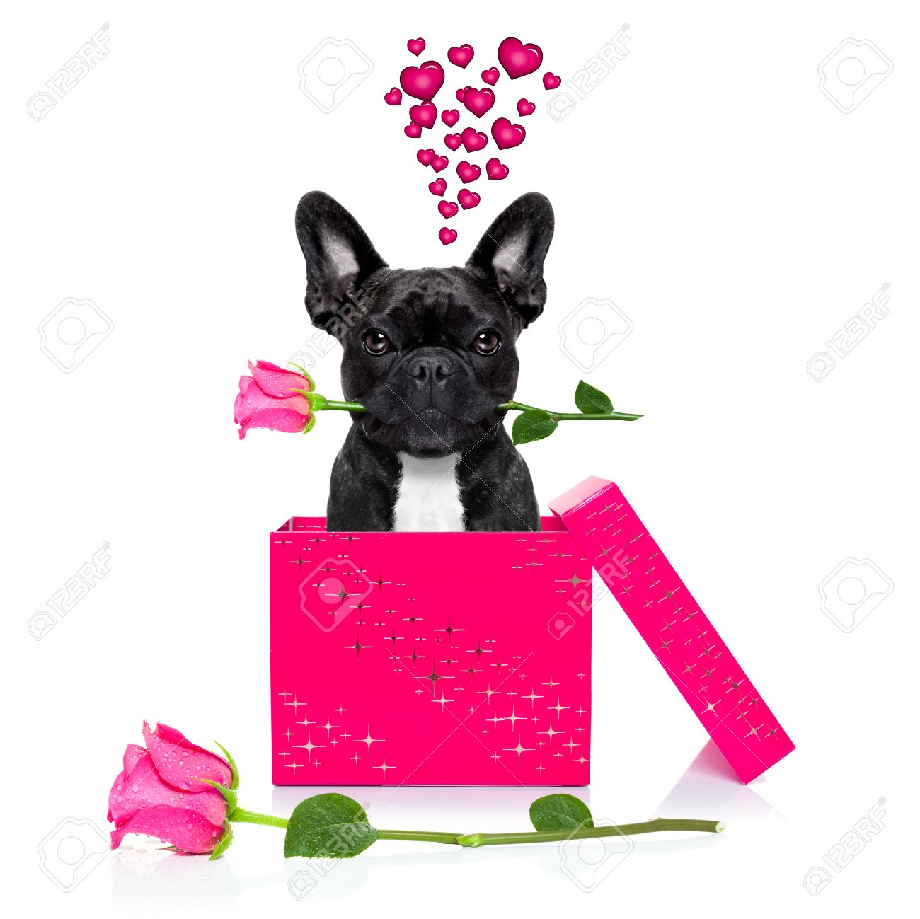 french bulldog dog with valentines day rose in mouth , jumping out of a present or gift box , as surprise, isolated on white background - 50261201