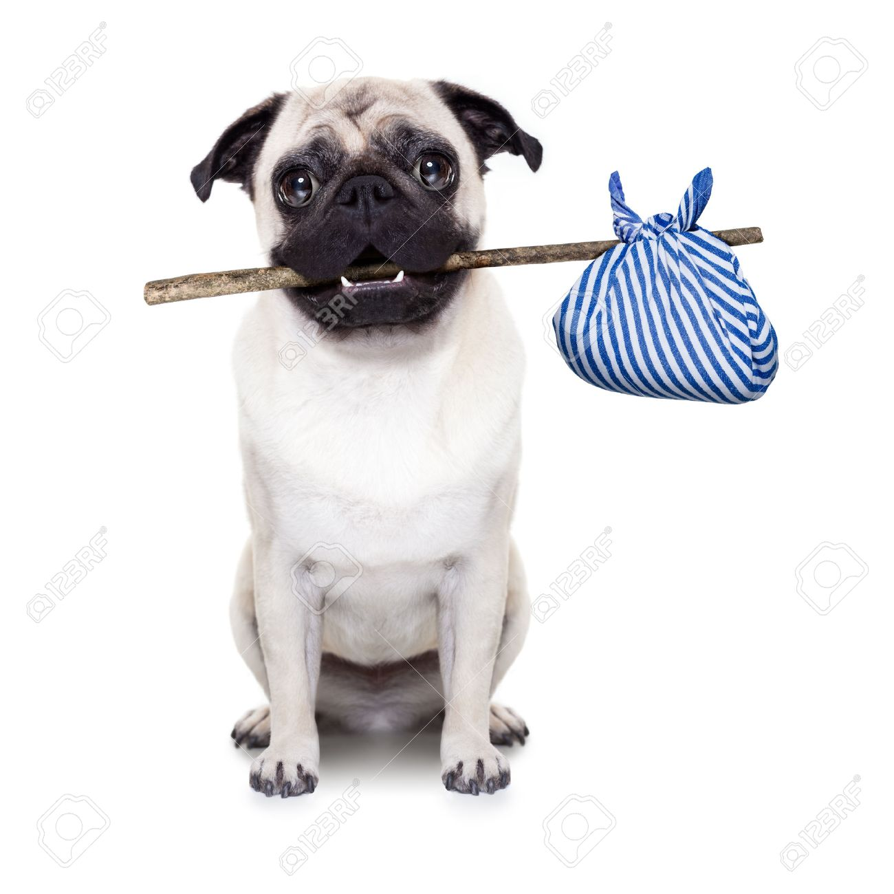 pug dog abandoned and left all alone on the road or street, with luggage bag , begging to come home to owners, - 52216085