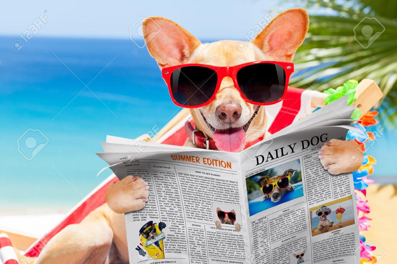 76dbb9fabfa5 Perro chihuahua que se relaja en una hamaca fantasía de color rojo con  gafas de sol rojas periódico o revista de lectura, días de vacaciones de ...
