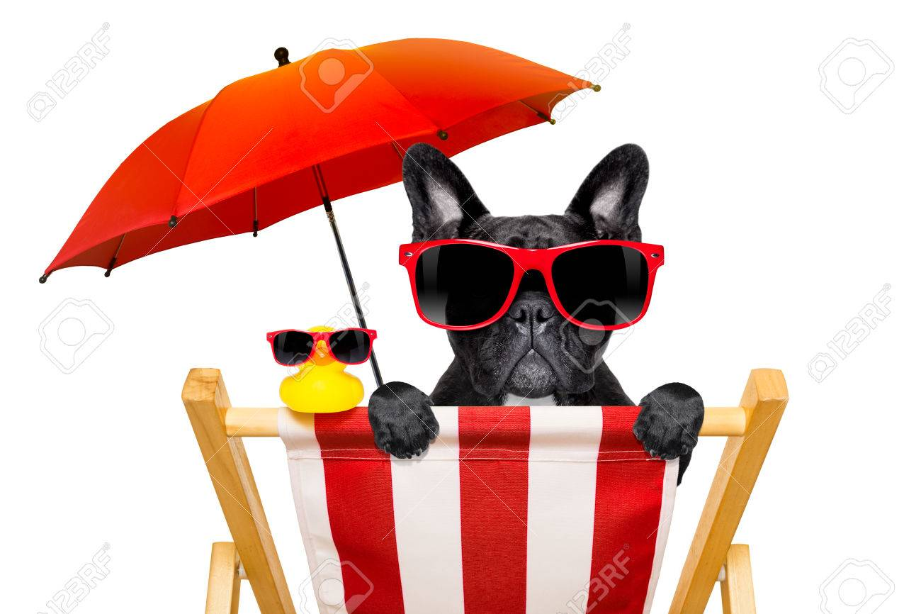 8357697e1d38dc ... isolated on white background. french bulldog dog on a beach chair or  hammock at the beach relaxing on summer vacation