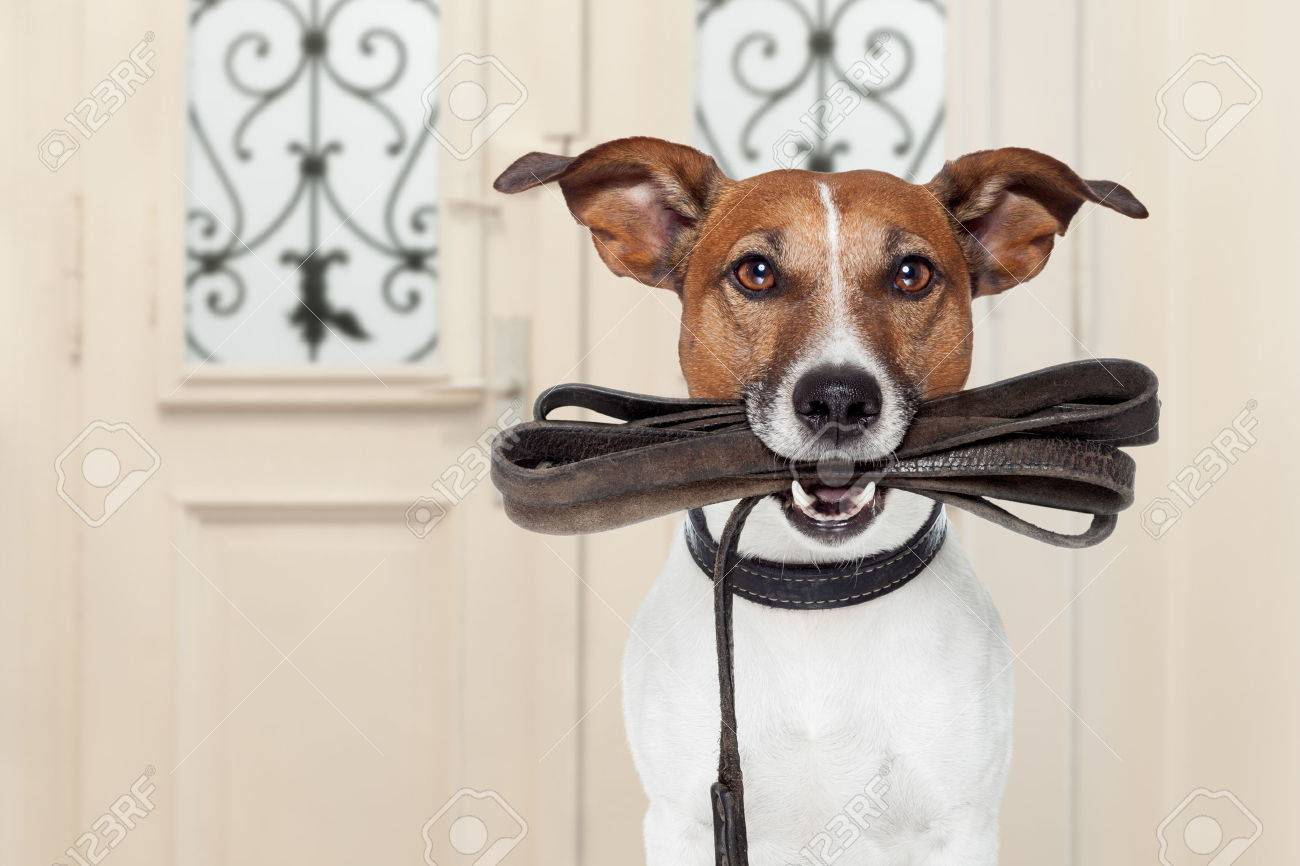 jack russell dog  waiting a the door at home with leather leash in mouth , ready to go for a walk with his owner Stock Photo - 54264214