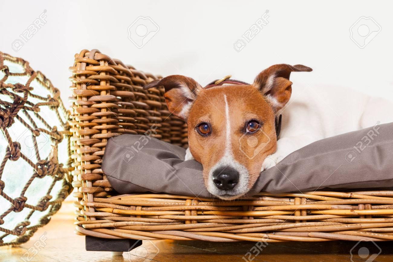 jack russell cane a riposo o avere una siesta a letto in camera da ... - Camera Da Letto O