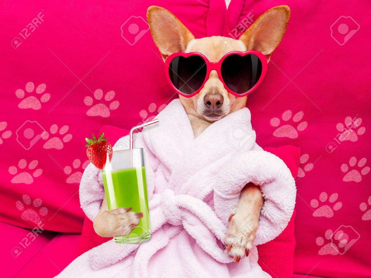 Chihuahua Dog Relaxing And Lying, In Spa Wellness Center ,wearing ...