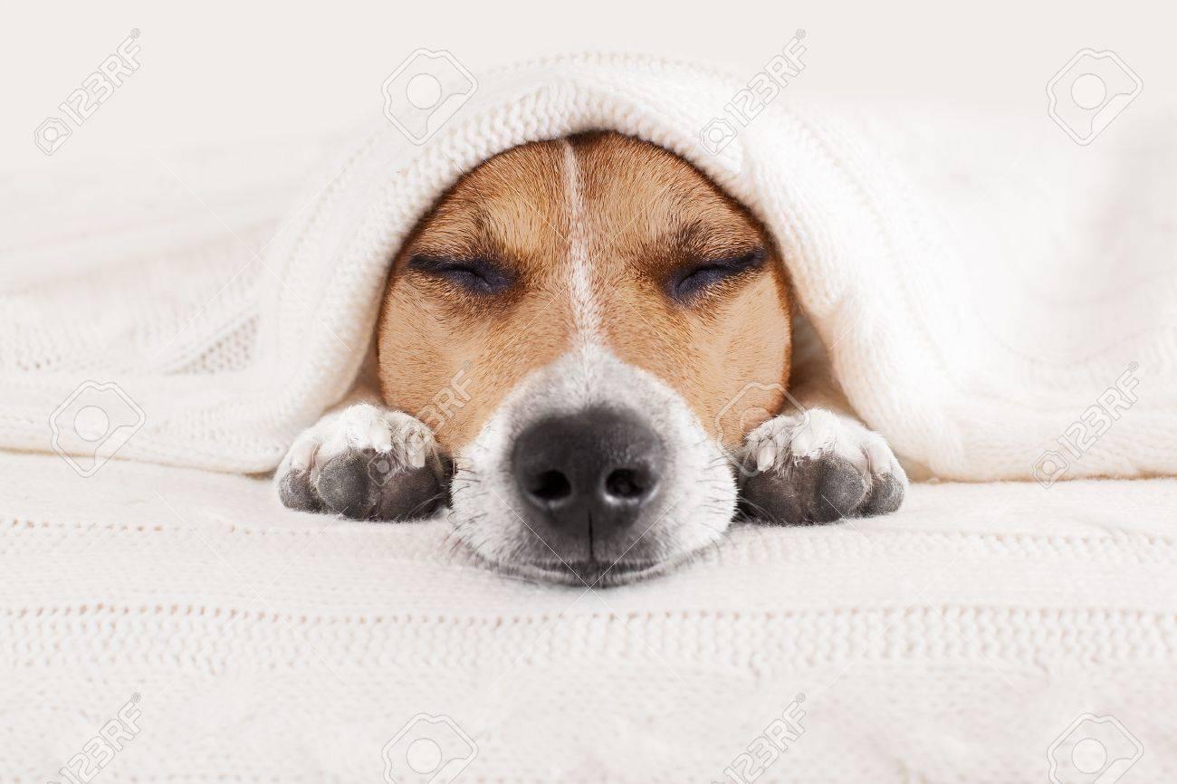 Jack-Russell-Hund Das Schlafzimmer, Krank Oder Müde Unter Der Decke ...