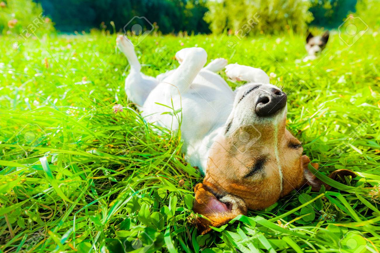 jack russell dog relaxing and resting on grass meadow at the park outdoors and outside on summer vacation holidays - 62511379