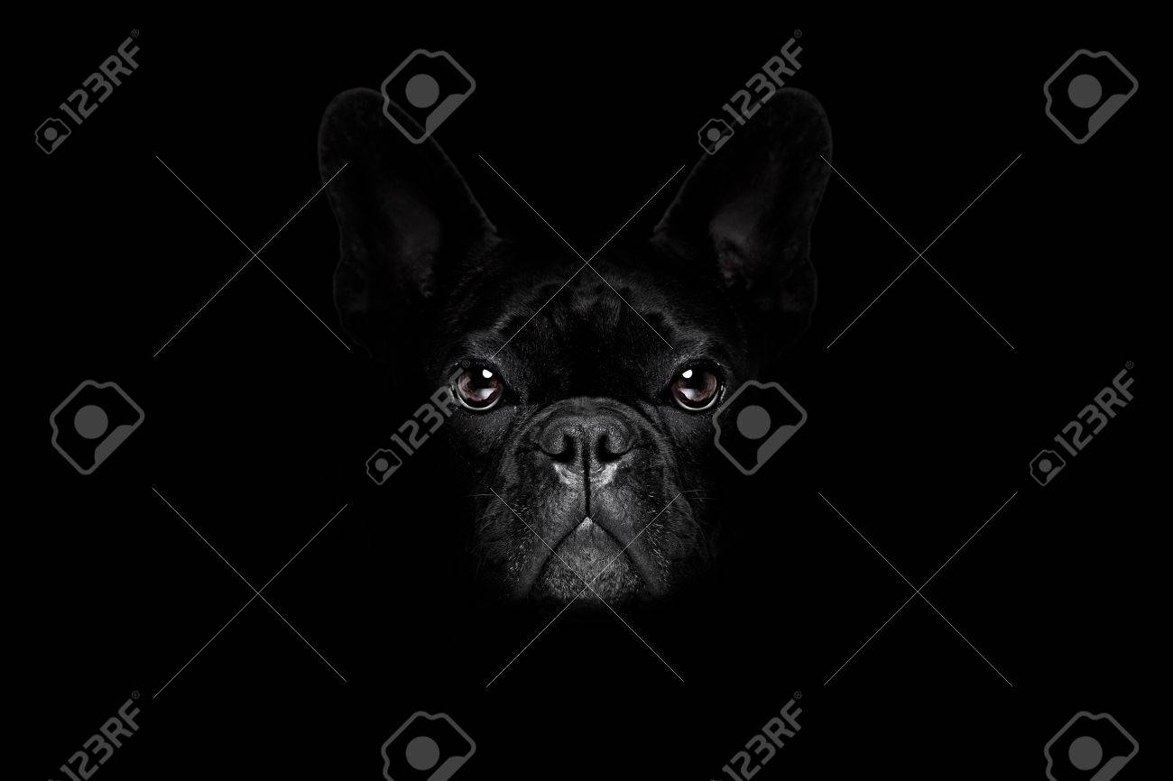 bulldog dog isolated on black dark dramatic background looking at you frontal, isolated - 62512356