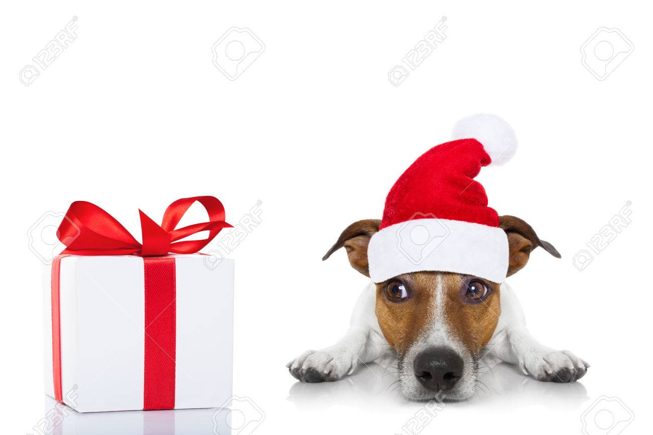 Jack Russell Dog With Red Christmas Santa Claus Hat For Xmas.. Stock ...