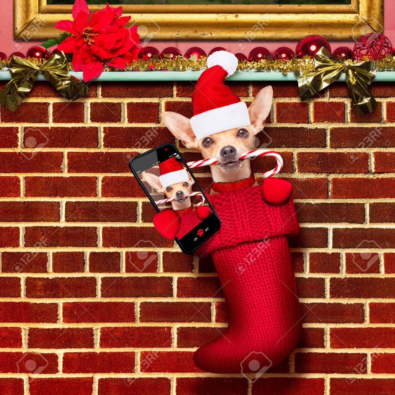 chihuahua dog inside xmas stockings or socks for christmas holidays hanging at the wall of - Xmas Stockings