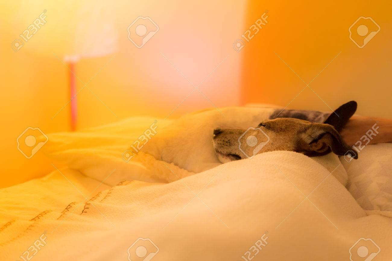 Jack-Russell-Hund Das Schlafzimmer, Krank Oder Müde, Blatt, Der ...