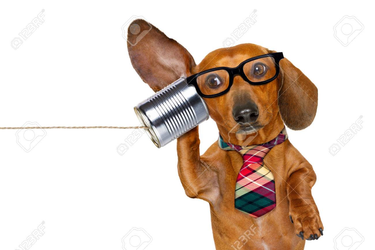 boss or business dachshund or sausage dog listening with one ear very carefully on the tin phone or telephone, isolated on white background - 73371588