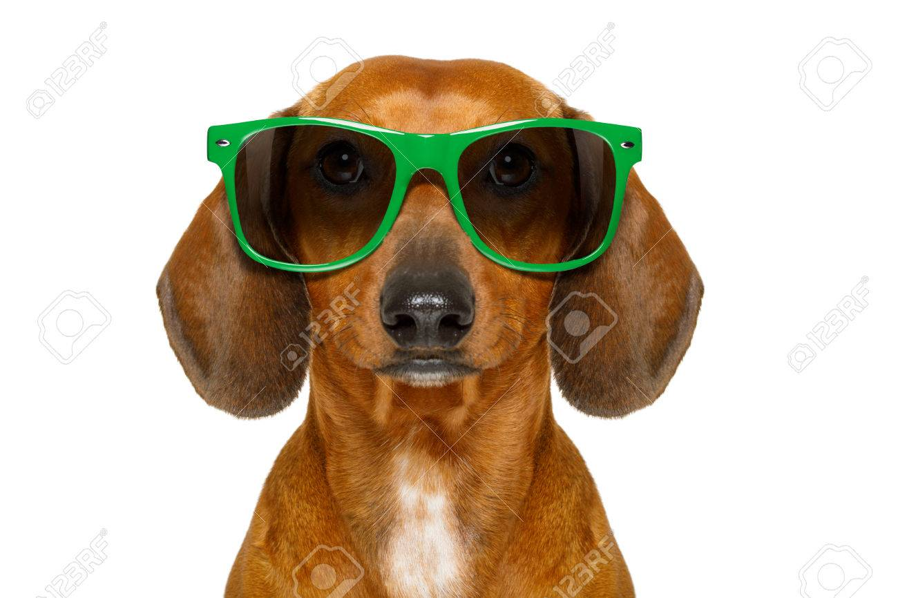 dumb nerd silly dachshund sausage dog wearing funny green