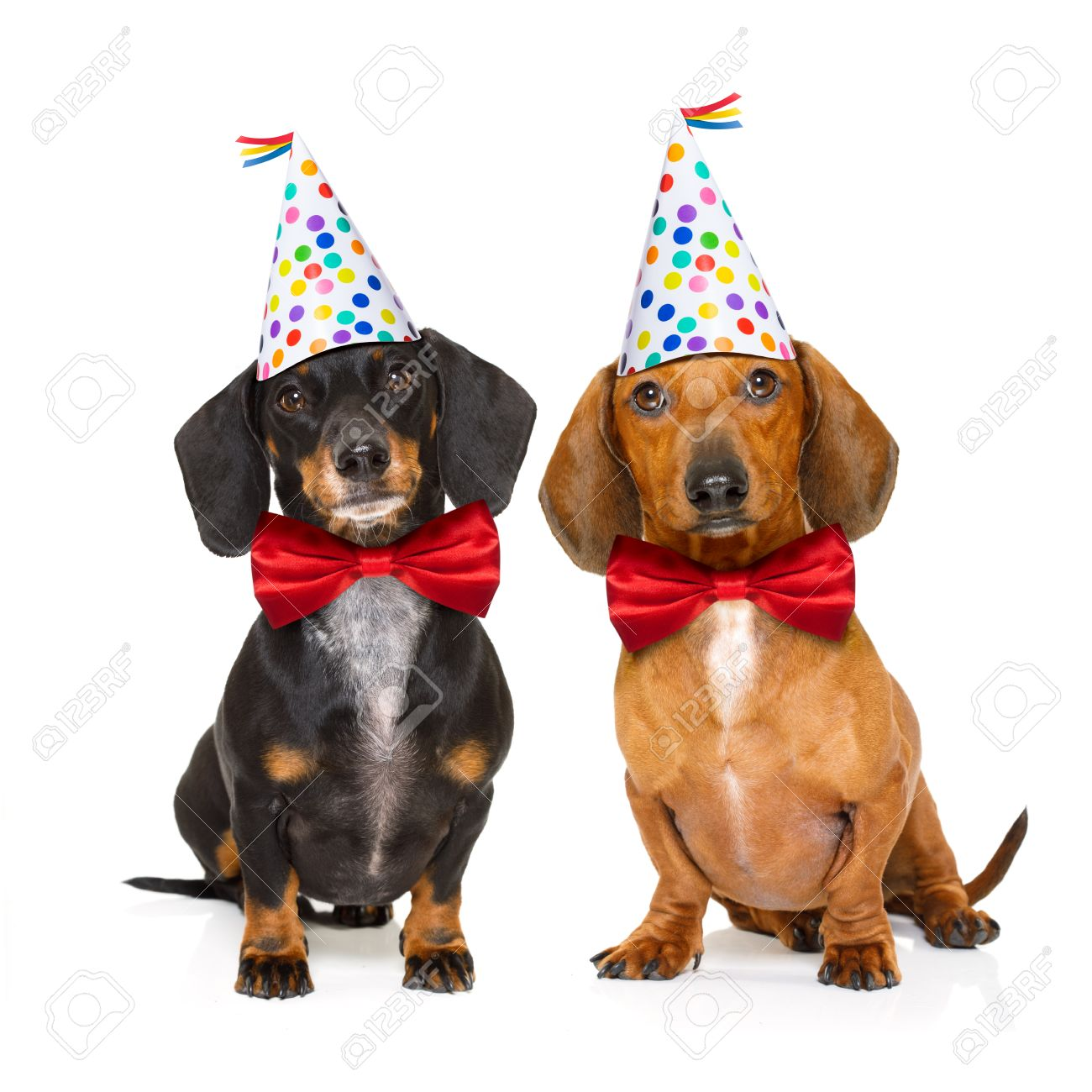 Couple Of Two Dachshund Or Sausage Dogs Hungry For A Happy Birthday Cake With Candles