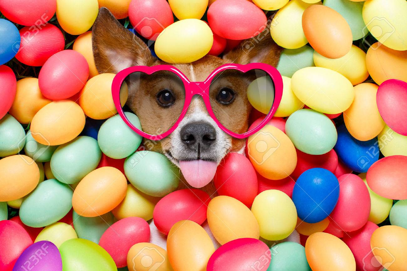 funny jack russell easter bunny dog with eggs around on grass as background, sticking out tongue with sunglasses - 73899694