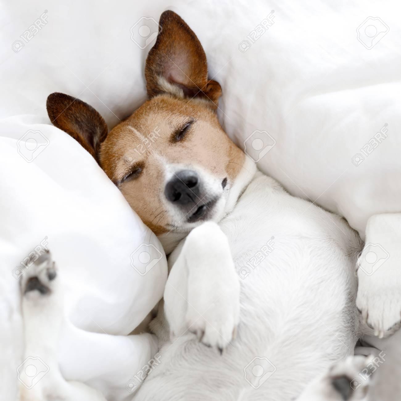 Jack Russell Hund Schläft Auf Der Decke Im Bett Im Schlafzimmer ...
