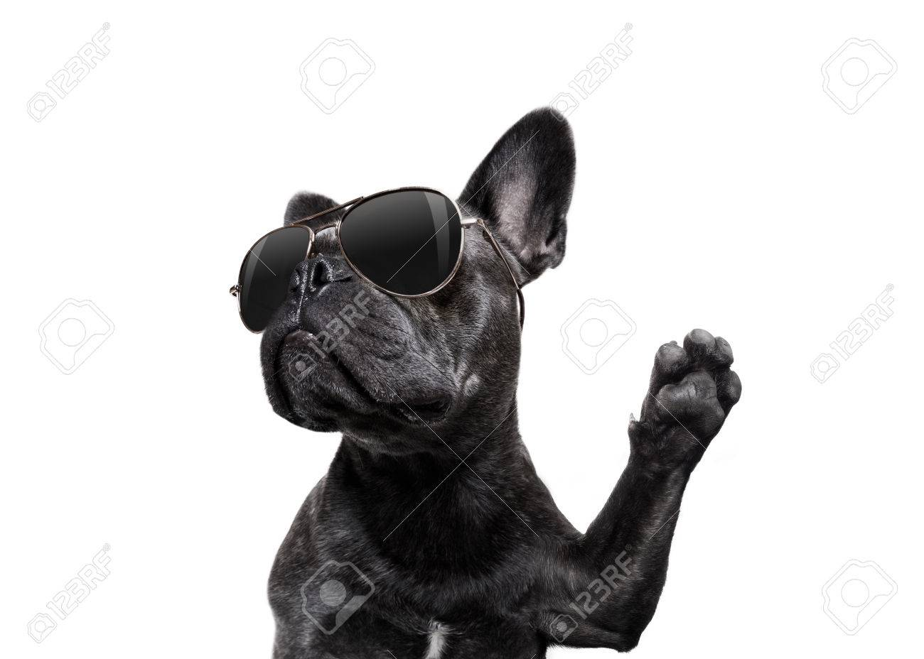 cool trendy posing french bulldog with sunglasses looking up like a model , isolated on white background, with paw high five - 87153630