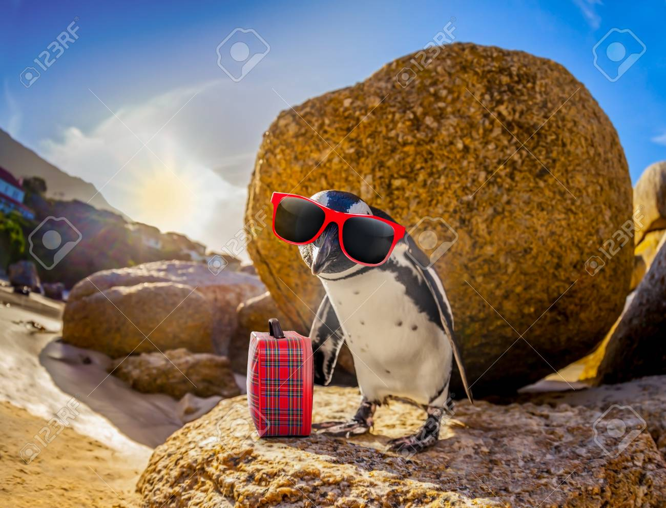 8a373773ae2 curious african penguin with funny sunglasses and bag or hand luggage at  boulders beach in south