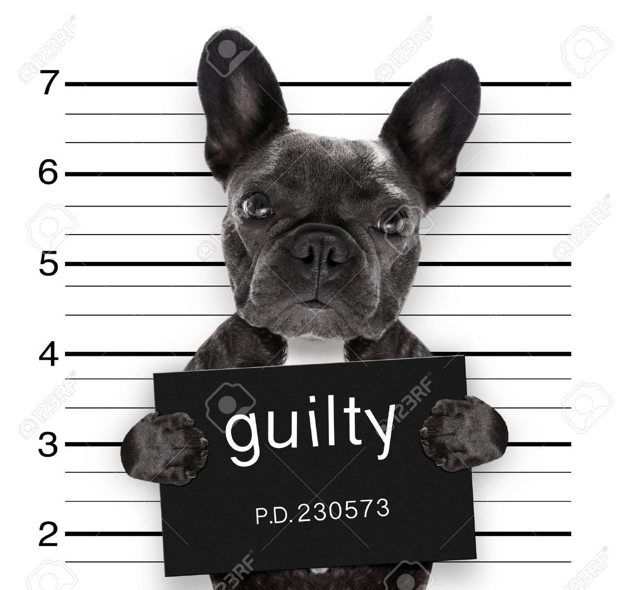 criminal mugshot of french bulldog dog at police station holding guilty placard , isolated on background - 87239172