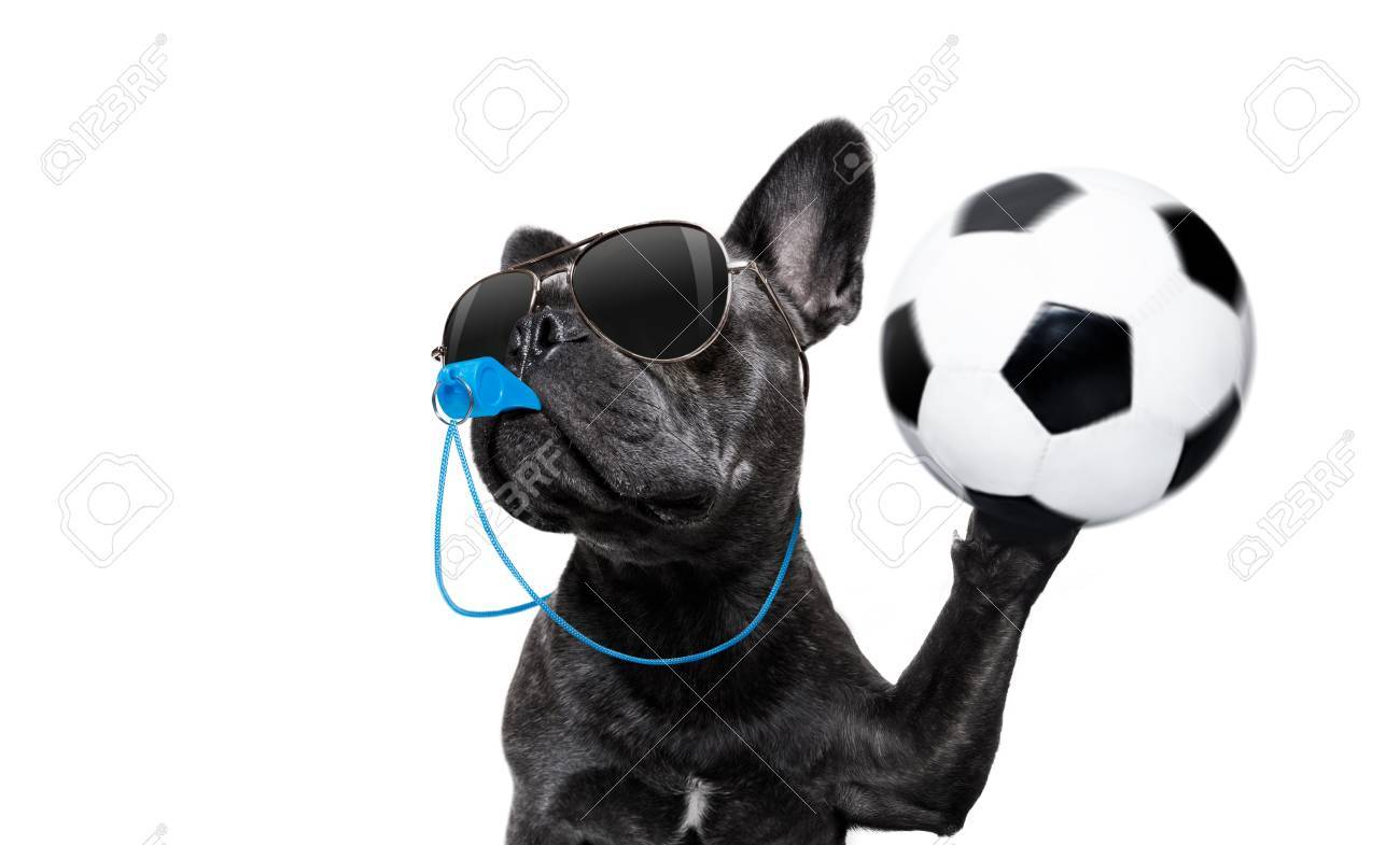 referee arbitrator umpire french bulldog dog blowing blue whistle in mouth ,catching a soccer ball, isolated on white background - 87299978