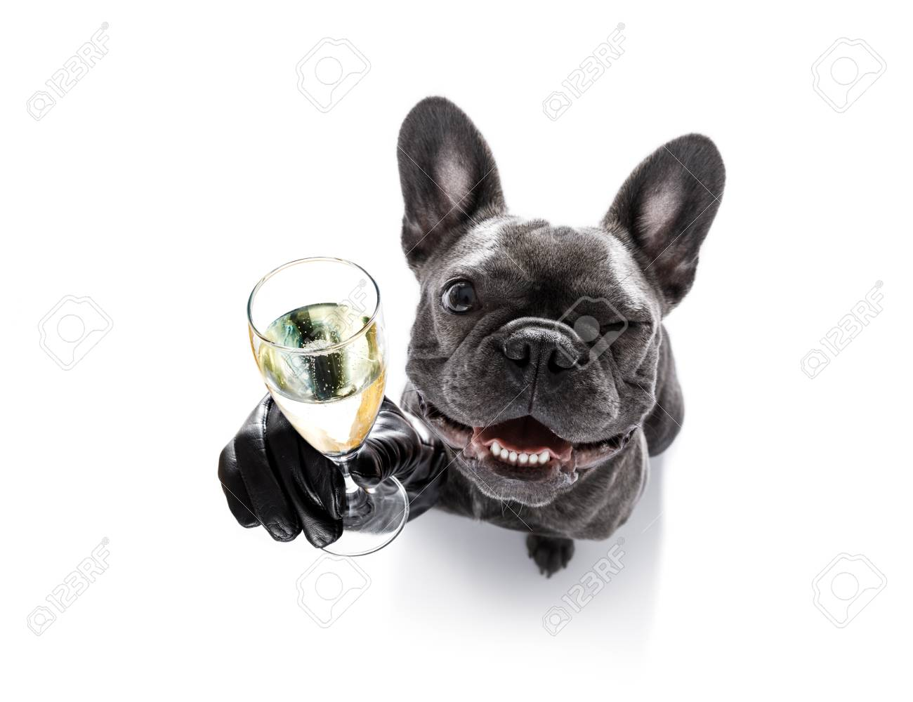 french bulldog dog celebrating new years eve with owner and champagne glass isolated on white background , wide angle view - 88148666