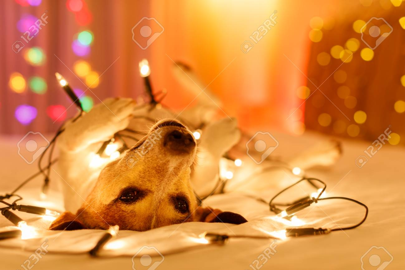 jack russell dog resting and enjoying this christmas holidays with fancy fairy lights and looking cute at you ( low light photo) - 90072720