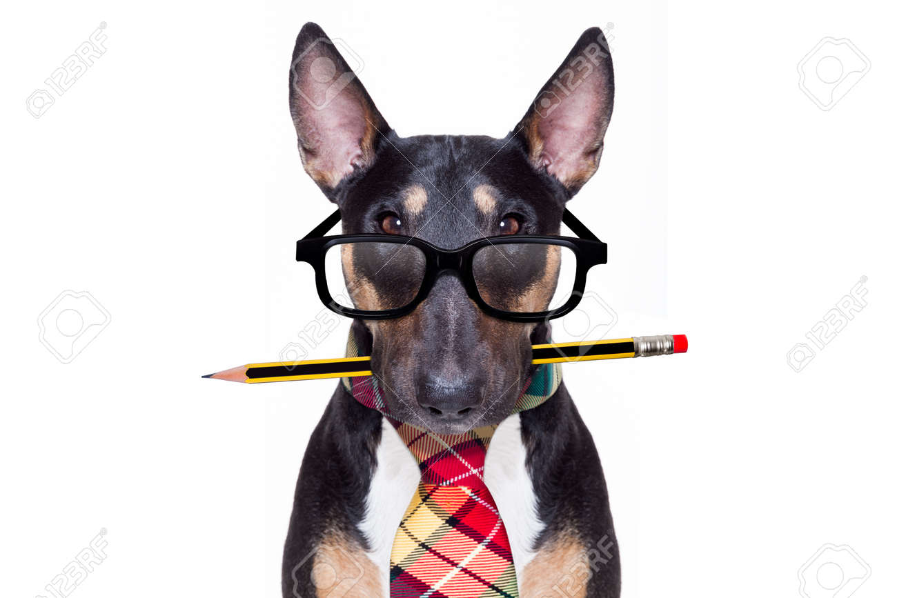bull terrier dog tie going to work as office worker boss with nerd reading glasses , isolated on white background - 124072016