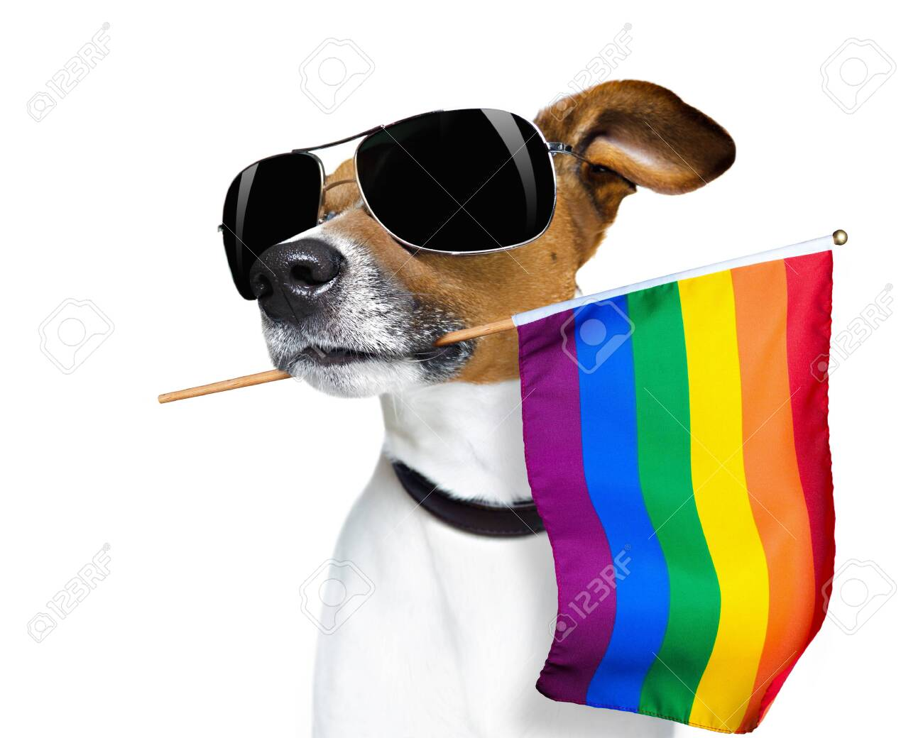 Crazy funny jack russell dog proud of human rights - 128006164