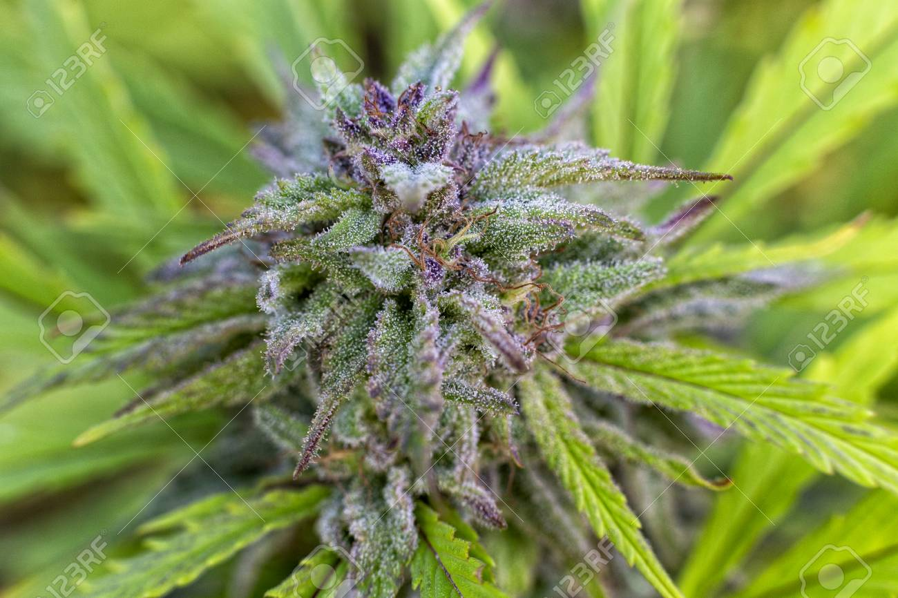 Trichomes covering a purple bud