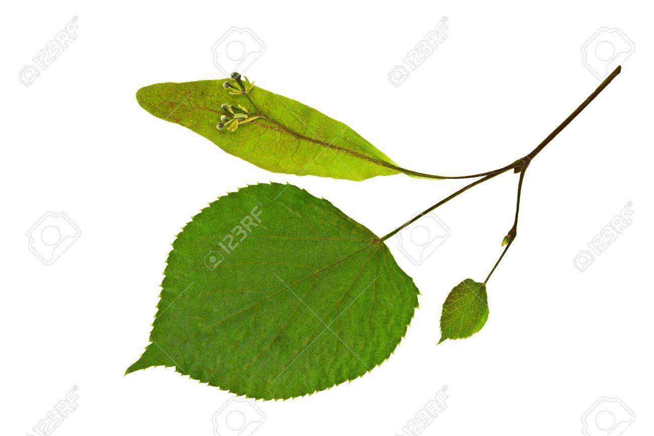 Dry spring leaf of linden  Tilia   Isolated on white Stock Photo - 16526153