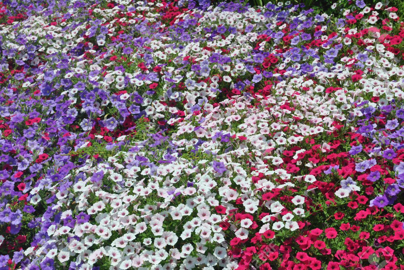 field  of  pansies Stock Photo - 14219881