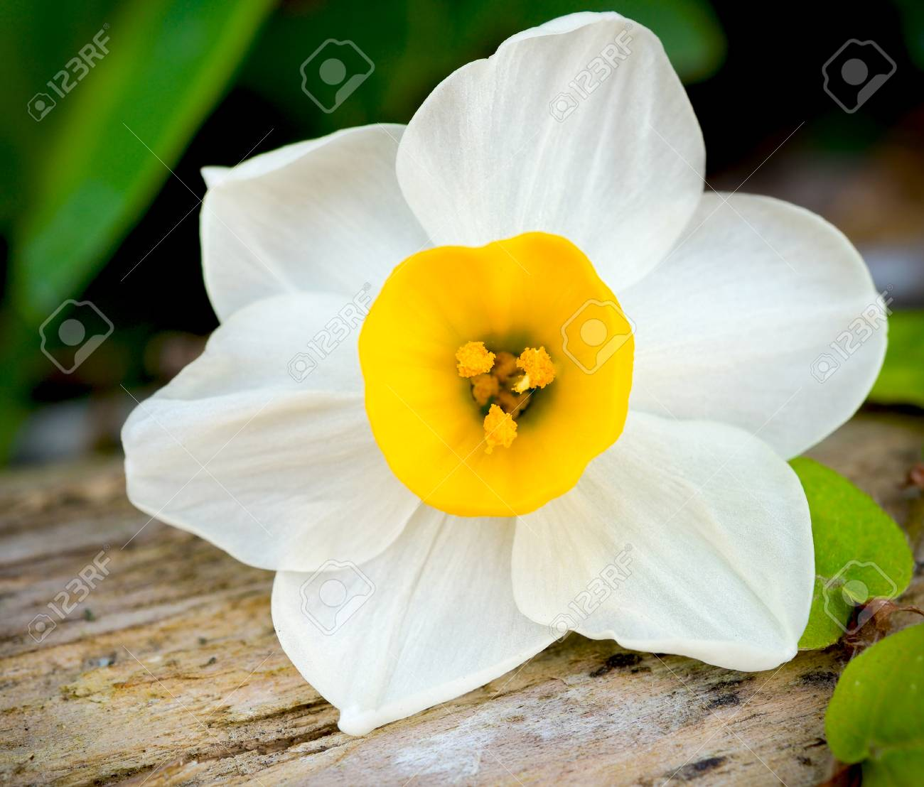 White daffodil flower stock photo picture and royalty free image stock photo white daffodil flower mightylinksfo