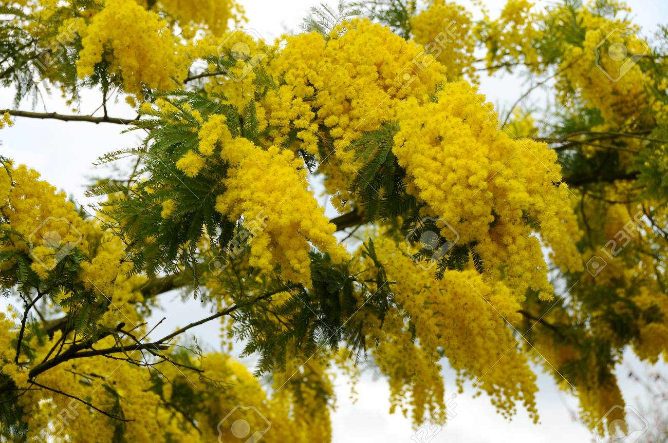 Yellow Mimosa Flowers Stock Photo Picture And Royalty Free Image