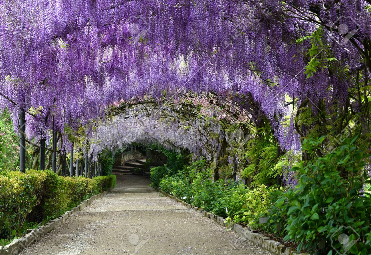 Beautiful Purple Wisteria In Bloom Blooming Wisteria Tunnel