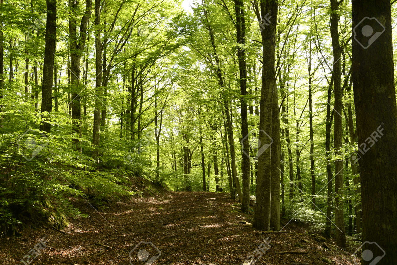 beautiful beech forest in the Apennine mountains near Arezzo. Italy - 169221725