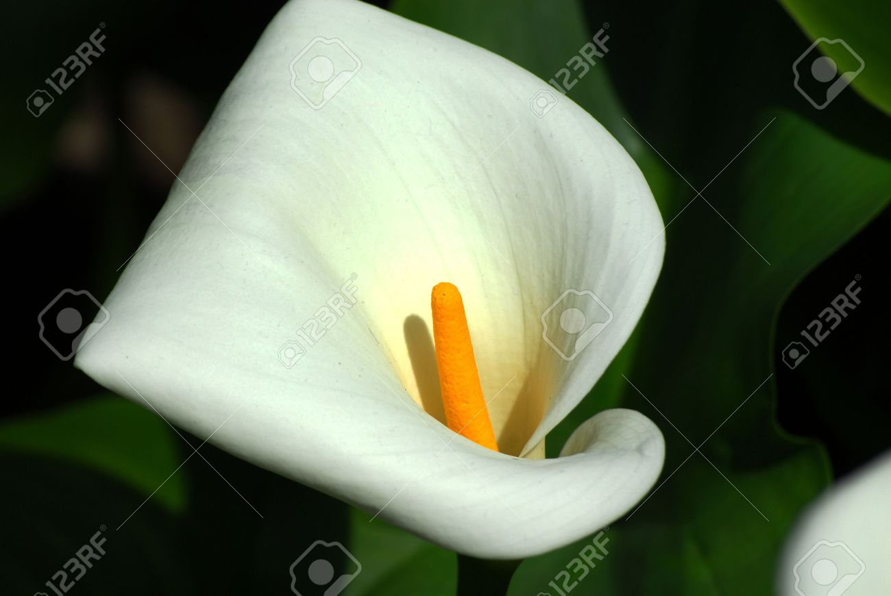 a white tropical calla lily flower with a yellow stem stock photo